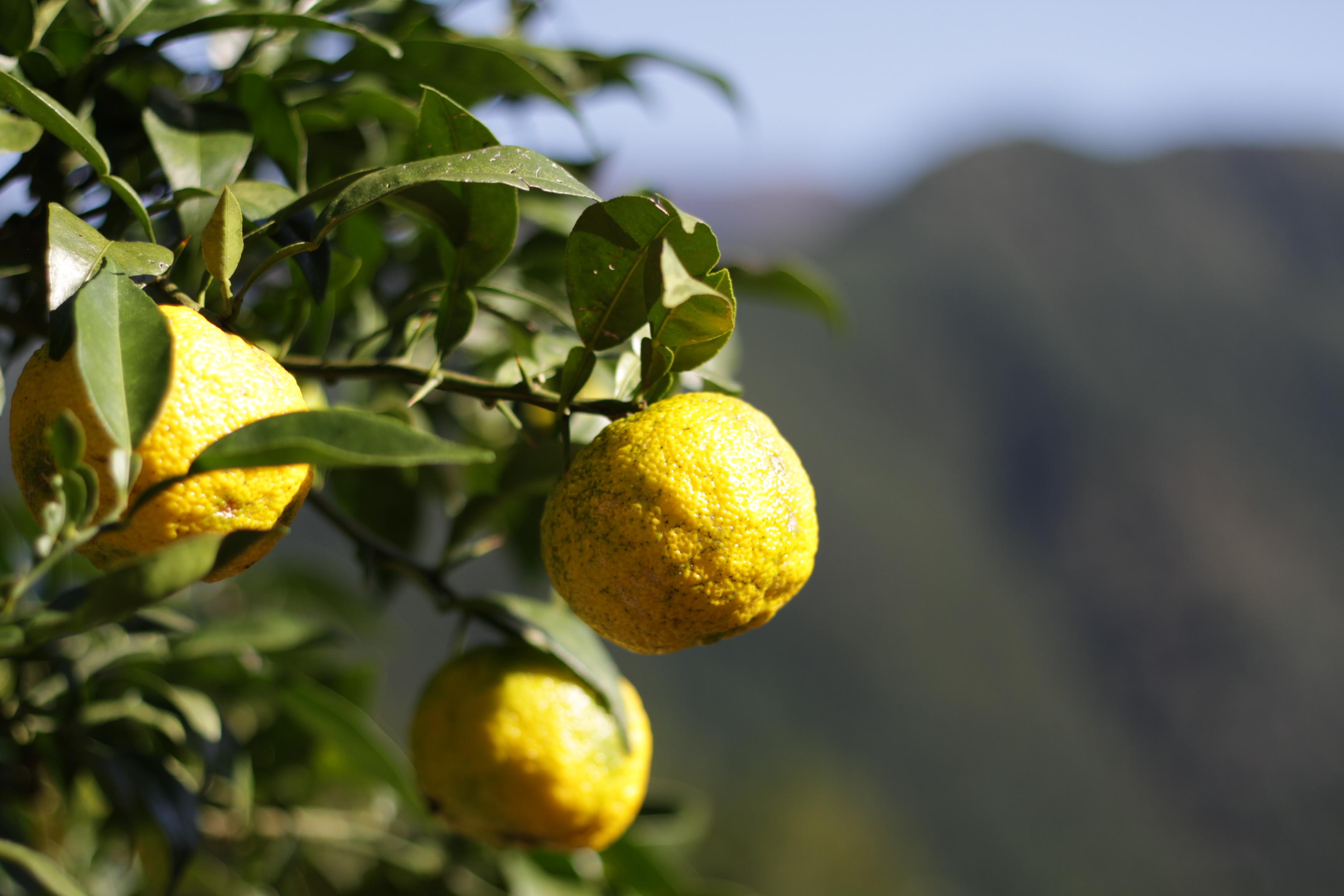 Yuzufrucht