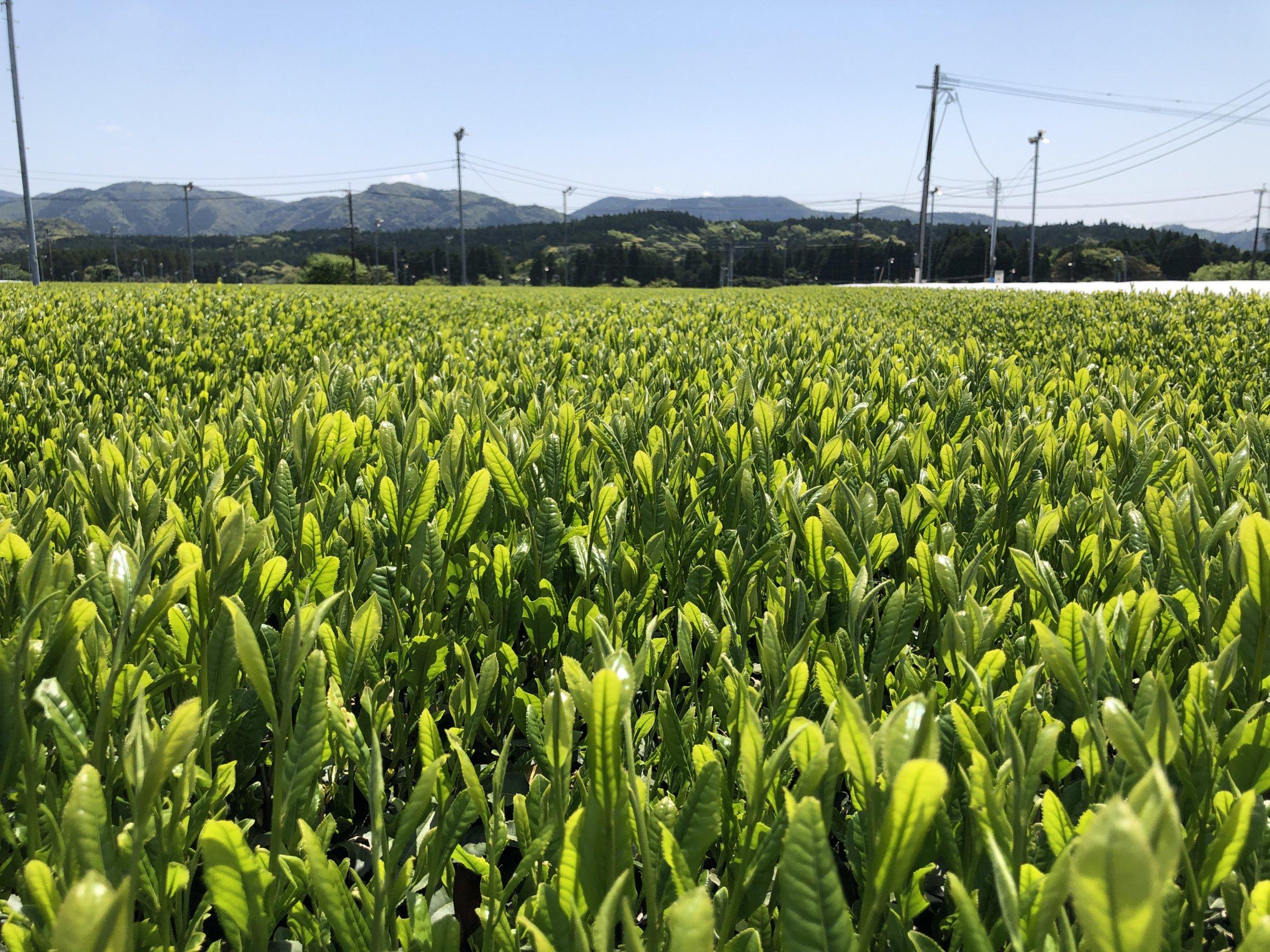 Yabukita Feld auf der KEIKO Biofarm